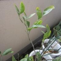 みかんの木(鉢植え)春になったら葉先が黄色くなって落ちる。twitterについても。