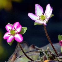 鉢植の雪割草(2)~赤覆輪花