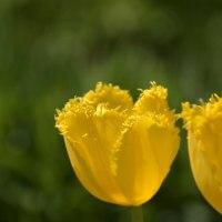 噛み付きそうな黄色いチューリップ