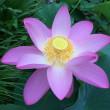 7月22日~26日 花園公民館の大賀ハスを観察しました