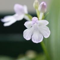 羽蝶蘭です。