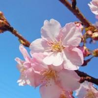 桜とオリジナルソング(アコースティックギターver.)