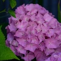 ご近所のお花です。