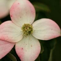花みずき科目種の花