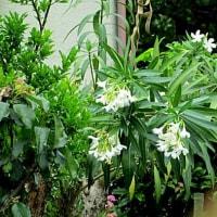 夾竹桃(きょうちくとう)という花
