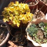 貝母と鉢植えのハボタン他