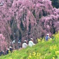 「課外授業」 福島県二本松市 合戦場のしだれ桜で撮影!