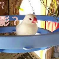 ひよブロ (文鳥のぷーちゃん祭り!)