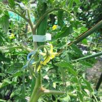 トマトの摘葉(尻腐れ病対策)