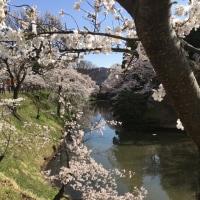 今年もまた、上田城でのお花見。高遠は雨でした。