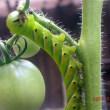 トマトの葉を食べる青虫