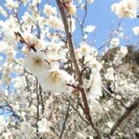 梅の花満開
