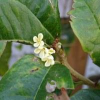 二度咲きのキンモクセイ