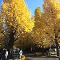 慶応義塾大学日吉キャンパスのイチョウ並木