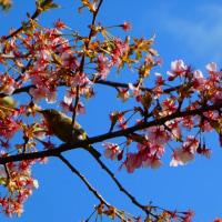 『春一番』 メジロたち