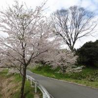 真庭市 桜並木