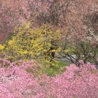 いなべ市梅林公園の梅まつりは終了。そしてありえへんドリンク。