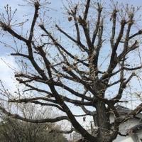カシワの樹下