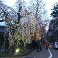 武家屋敷と黄昏時の枝垂れ桜