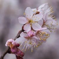 23日の散歩 ( 十二坊から平野神社への散歩で春だより )