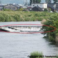 アユ(遡上)(熊野川/富山市友杉)