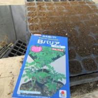 台木用トマトの播種