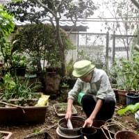 鉢物草花の植え替えをする。