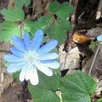 4月25日の筑波山裏登山道はスプリングエフェメラルが花盛り