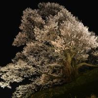 佛隆寺 千年桜ライトアップ