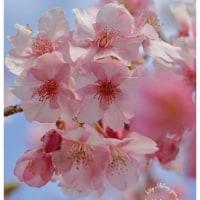 河津桜 14