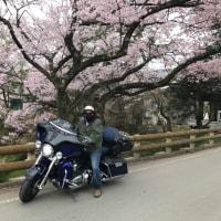 天下第一の桜  高遠城址公園
