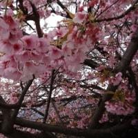 満開が町内一の桜に間に合いました