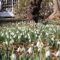 """校庭を埋める白い花""""スノードロップ""""..."""