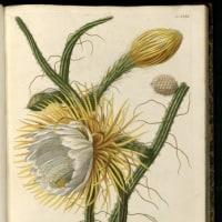 昼咲く、イブニング・プリムローズ'アフリカン・サン'(Evening primrose 'African Sun')の花