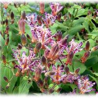 秋の花(^^♪「杜鵑草(ホトトギス)」 杜鵑と書けば花の名前、不如帰で渡り鳥