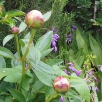 五月中旬、菜園の花と野菜