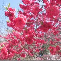 神戸の花桃