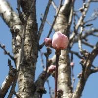 ようやく蕾膨らむ 花桃