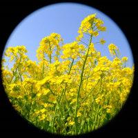 青空に映える菜の花