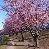蜂須賀桜~♪