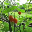 トマトが元気に育ってます。