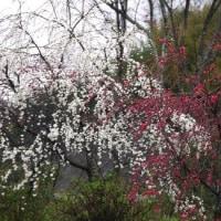 桜のあとはシダレ桃