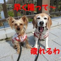 ようやく開花宣言が出た名古屋の桜