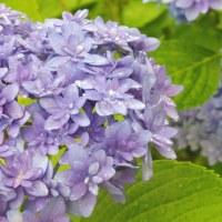 紫陽花には雨がいいですね~~
