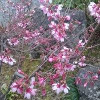 【山桜】咲き始めました