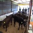 新しい子牛は25頭。