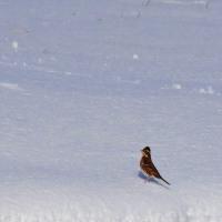 雪の田んぼの鳥さんたち♪