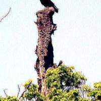 夫婦カラスのお城は森の巨樹「その2」