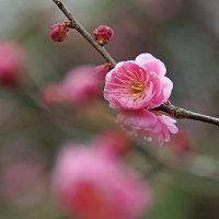 梅花と夕日 170125
