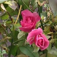 庭の 薔薇と   上杉 神社